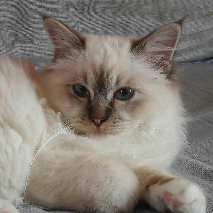 Pirouette chaton Sacré de Birmanie