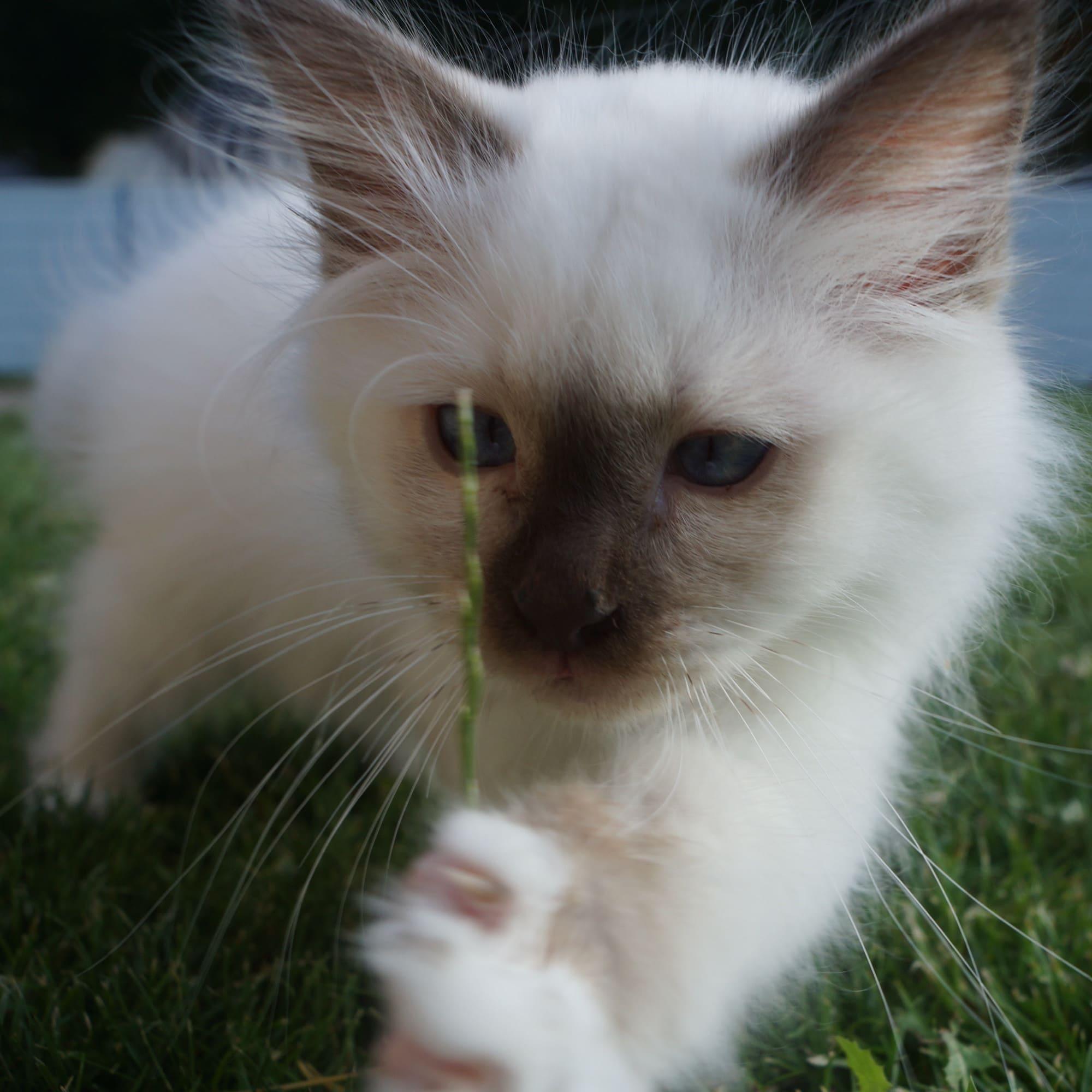 Puce chaton Sacré de Birmanie