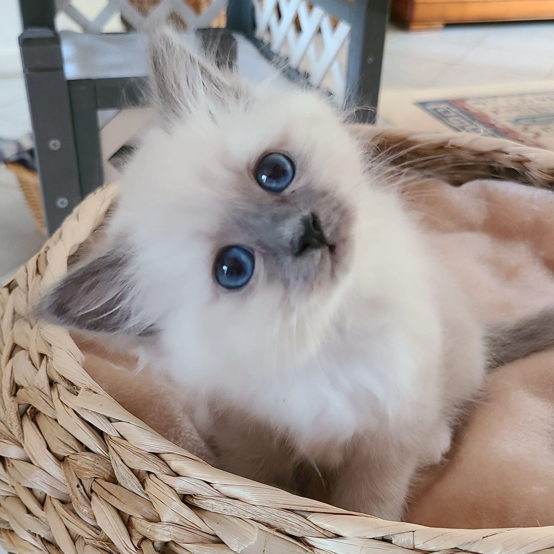 Romy chaton Sacré de Birmanie
