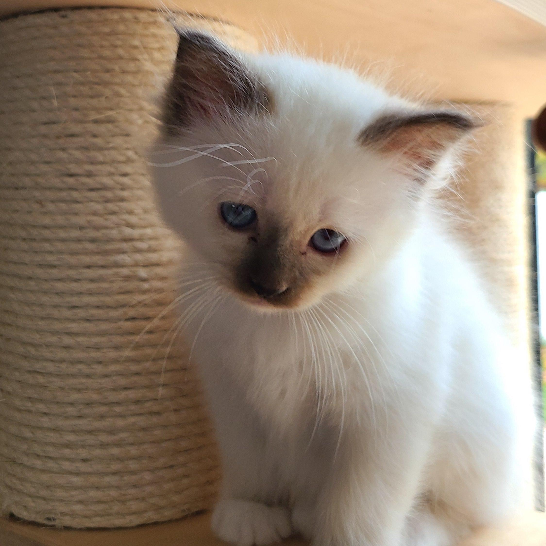 Rubens chaton Sacré de birmanie